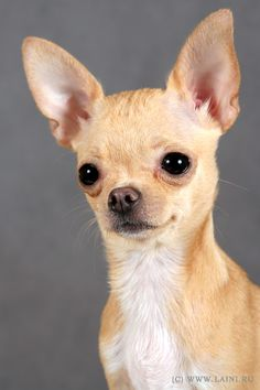 Chihuahua. Looks just like my Sammy.
