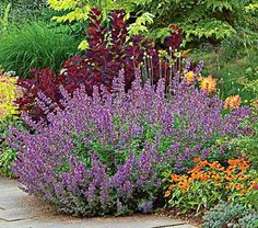 Drought tolerant... 'Nepeta Walkers Low' Catmint