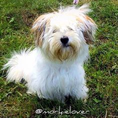 #tbt With this pic (& the story behind) we decided to adopt our little fluffy princess Chispa  I think she always had bad hair days before she stayed with us  Milo #throwbackthursday #morkie #dog #cute #love #morkielover #fancypetpack #instagood #petstagram  #photooftheday #dogsofinstagram #ilovemydog #instagramdogs #dogstagram #dogoftheday #lovedogs #doglover #instapuppy #instadog #yorkie #maltese #ilovemorkies #morkiesofinstagram #morkielove #instamorkie#weeklyfluff #morky . . Follow our…