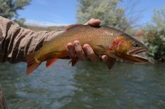 fly fish wyoming, snake river cutthroat
