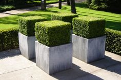 BOXWOOD! (Get it?) These people have a sense of humor. Buxus sempervirens