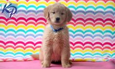 Gabriella – Golden Retriever Puppies for Sale in PA | Keystone Puppies