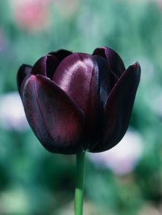 Striking Purple Black Queen of Night Tulips The Queen of Night has deep purple-black single flowers that contrast well with light blue forget-me-nots.