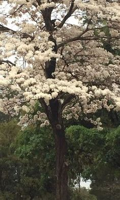 Trees And Shrubs, Flowering Trees, Blooming Trees, Colorful Trees, Garden Pictures, Tree Forest, Belleza Natural, Amazing Nature, Beautiful Landscapes