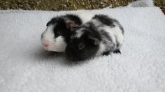 Baby Teddy Guinea Pigs for sale                                                                                                                                                     More