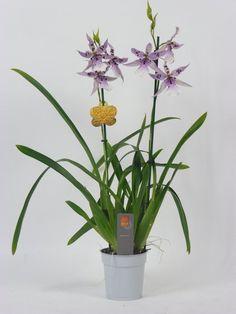 Inca Orchidee Peggy Lilla