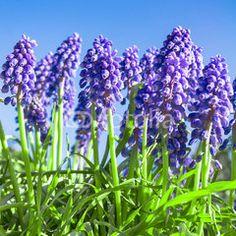 Traubenhyazinthen, Muscari, blaue Frühlingsblumen
