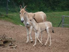 10 Extremes Animals Whose Names Begin with The Letter O ~ Onager