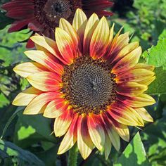 Bicolor Sunflower