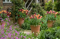 Sarah Raven's garden. Tall terracotta pots filled with tulips lining a stone path in the oast garden at Perch Hill.