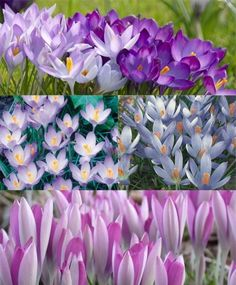 Collection Q: The Crocus Tommasinianus Lawn-of-Dreams - New! - Crocus - Flower Bulbs Index