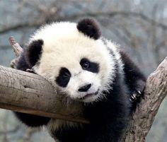 the worlds cutest panda - Google Search