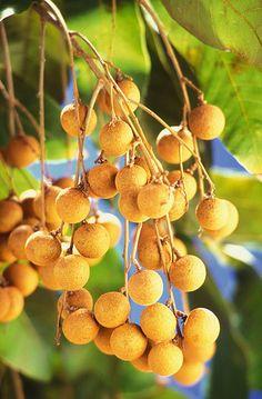 Longanfrüchte in einem Fruchtstand am Longanbaum