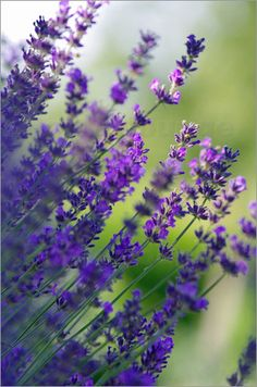 A garden is a planned space , enjoyment of plants and other forms of nature Lavender Cottage, Lavender Blue, Lavender Fields, Lavender Flowers, Beautiful Gardens, Beautiful Flowers, Purple Flowers Wallpaper, Farm Lifestyle, Garden Of Earthly Delights