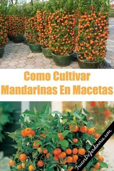 Como Cultivar Mandarinas En Macetas - Magnificent Tutorial and Ideas Eco Garden, Home Vegetable Garden, Garden Planters, Organic Gardening, Gardening Tips, Pot Jardin, Tree Seeds, Backyard Projects, Plantation