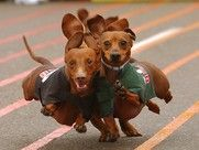 Wiener Dog Races...Buda, TX...this weekend!
