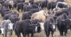 yak cows running in snow - - Image Search results Running In Snow, Animal Alphabet, Cattle, Animal Pictures, Beast, Cows, Mongolia, Bison