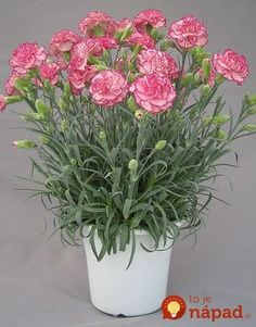 Carnation Plants, Carnations, Pink Purple, Hot Pink, Ikebana, Flower Pots, Red And White, Planter Pots, Floral Wreath