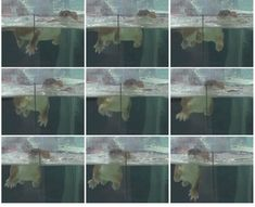Stoats are generally considered capable of swimming up to about but the discovery of a stoat on Rangitoto Island km offshore) in 2010 suggested they may be able to get their little legs paddling for much greater distances. Predator, Uni, New Zealand, Discovery, Swimming, Island, Legs, How To Make, Free