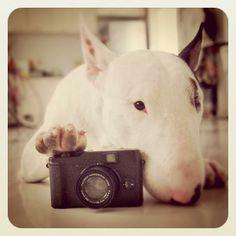 Photo? ; D bullterrier