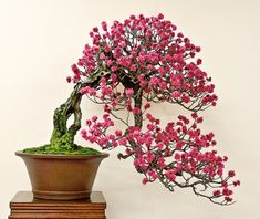 Japanese flowering apricot