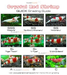 Crystal Red Shrimp Quick Grading Guide