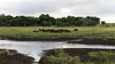 A herd of buffalo at iSimangaliso's Western Shores South Africa, Buffalo, Westerns, Country Roads, Life, Water Buffalo