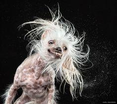shake dog photography carli davidson 6 Slow Motion Collection of Dogs shaking their head Ugly Animals, Animals And Pets, Cute Animals, Animal Faces, Dog Photos, Dog Pictures, Funny Pictures, Hilarious Photos, Dog Shaking