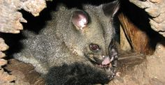 #Tips To #Control the #Possum Population around Your #Home