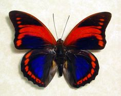 Prepona Praeneste. Prepona butterflies is a genus of Neotropical charaxine butterflies in the family Nymphalidae. They are strong fliers in tropical forests where they feed on fermenting fruits and animal dung.