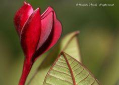 Bud of Purple Plumeria...