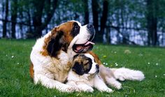 Everything you want to know about Saint Bernards including grooming, training, health problems, history, adoption, finding good breeder and more.