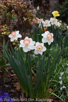 Narcissus 'Pink Charm' And, so it begins - OK blog but seems to be exact same timing as us