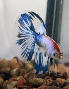 This is #4G1A. He is a blue and white marble male, #SuperDeltaTail that came from #HalfMoons. He's $25 shipped to anywhere in the US including protectorates. Message us before July 8 to get him. More pics available in the 4G1A Photo Album on our page.