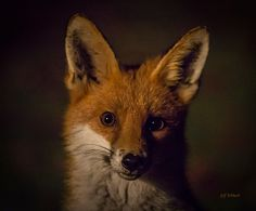 Red Fox by Jeff Tebbutt on 500px