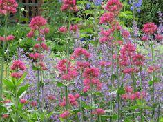 -neuer Gartentraum- Spornblumen