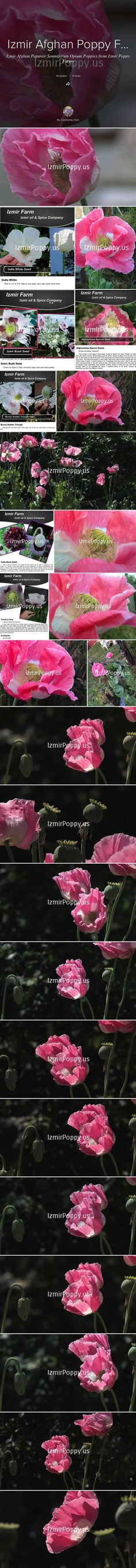 """http://IzmirPoppy.us/ Headlines Report SOURCE of Afghan's NEW 'SUPER Opium Poppy Seed' @IzmirPoppy Called the """"Izmir Afghan Special"""" (Galania): Matures in under 55 Days and Yields more than ANY other Somniferum Poppy #IzmirPoppy via @jdubtbird"""