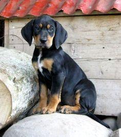 Transylvanian Hound - American Kennel Club...I want him and name him... Dracula! How precious