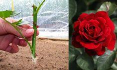 Planting Roses, Garden, Plants, Garten, Lawn And Garden, Gardens, Plant, Gardening, Outdoor