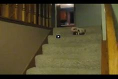 Mini Pig Using the Stairs!   OMG!  Too cute!!!