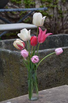 the 2015 tulips (1)