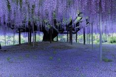 fantastic wisteria blooms