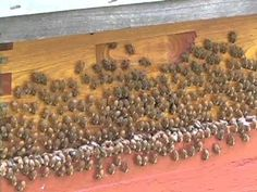 Washboarding is a common but little understood behavior in honey bees. The colony shown here was particularly eager to perform this behavior during the summe...
