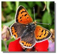 Butterflies of Scotland - Small Copper Scotland, Butterflies, Copper, Tattoo, Ant, Dragon Flies, Spinning, Snails, Butterfly