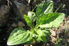 Ez a kis gyom a világ egyik leghatásosabb gyógynövénye! Tudj meg róla többet! - www.kiskegyed.hu