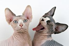 Hairless Sphynx cats enjoying enormous popularity as pets