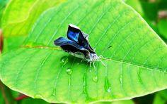 exotic butterflies   Exotic Butterfly by ~ evelyzenunez