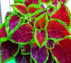 Coleus propagation is quite easy from cuttings Coleus Care, Garden Plants, House Plants, Propagation, Cuttings, Container Flowers, Plant Leaves, Exotic, Succulents