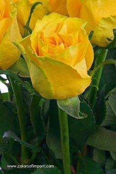 Rosa High & Yellow Magic (rose) www.colorsofimport.com