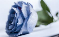 Download wallpapers blue rose, beautiful blue flower, rose bud